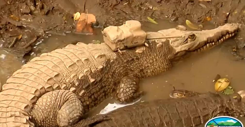 El transmisor fue instalado para monitorear los pasos del caimán aguja.