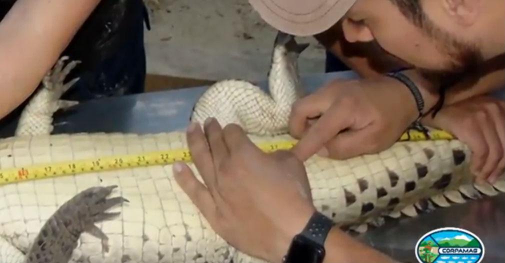 Un equipo de biólogos cuidó al caimán bebé durante cuatro meses.