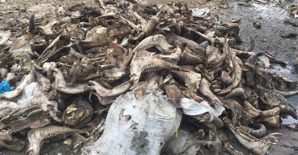 Encontraron restos de ganado que la parecer fue sacrificado en el lugar.