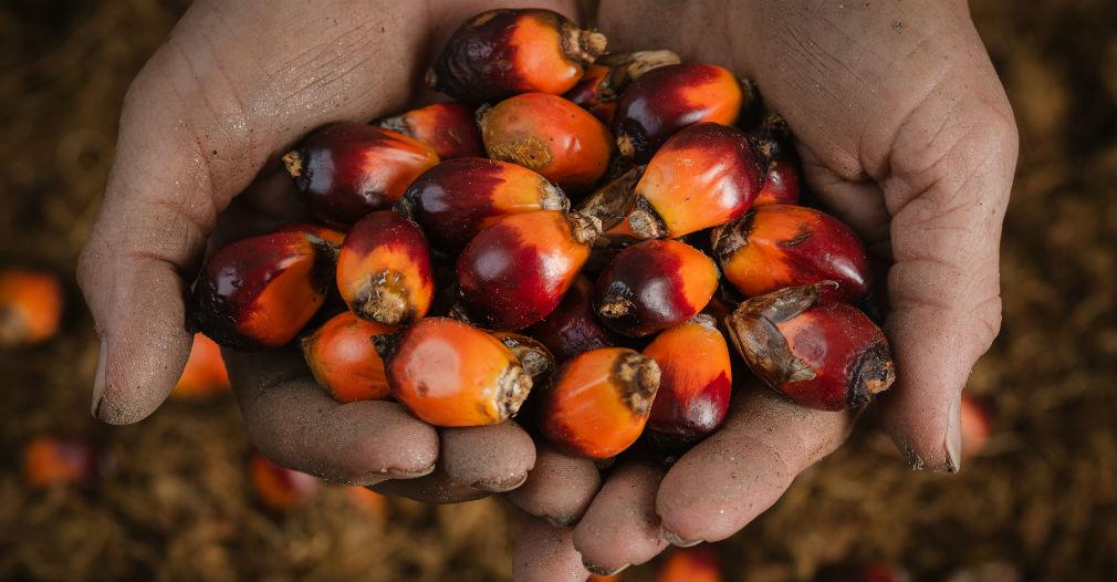 A la palma de aceite comúnmente se le dice corozo.