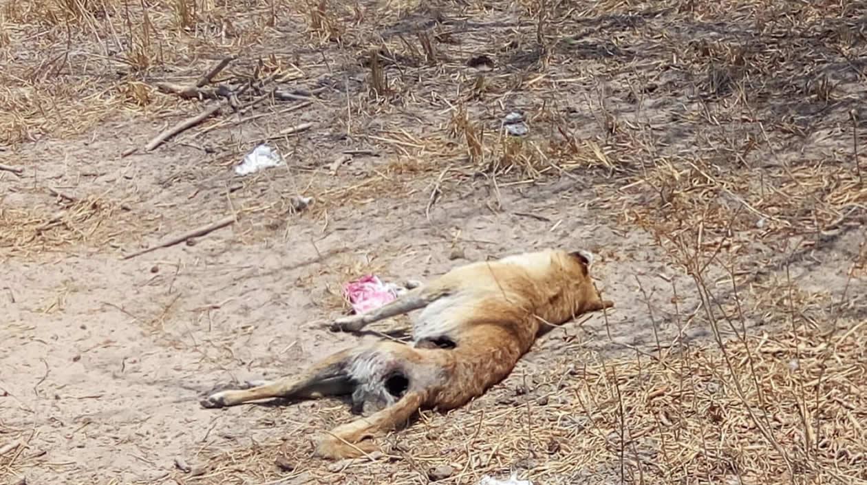 Uno de los perros muertos.