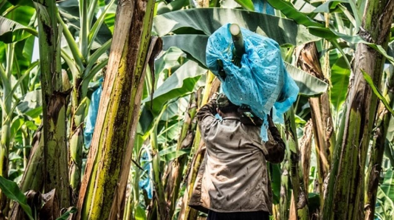 Colombia tiene 50.000 hectáreas de banano y genera unos 30.000 empleos directos.