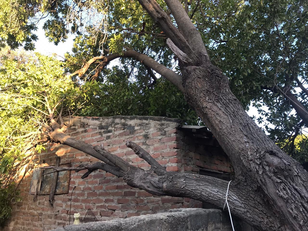 Árbol caído en Santa Marta.