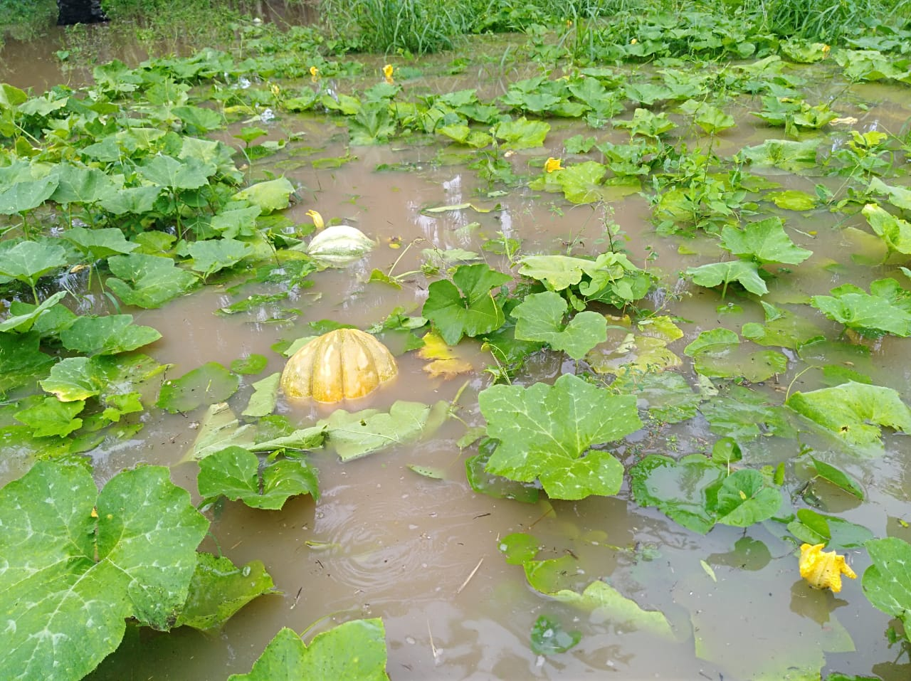 Cultivos inundados.