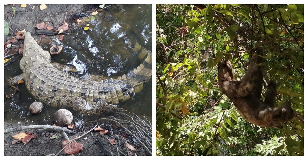 En estos días se observaron especies como caimán aguja y oso perezoso.