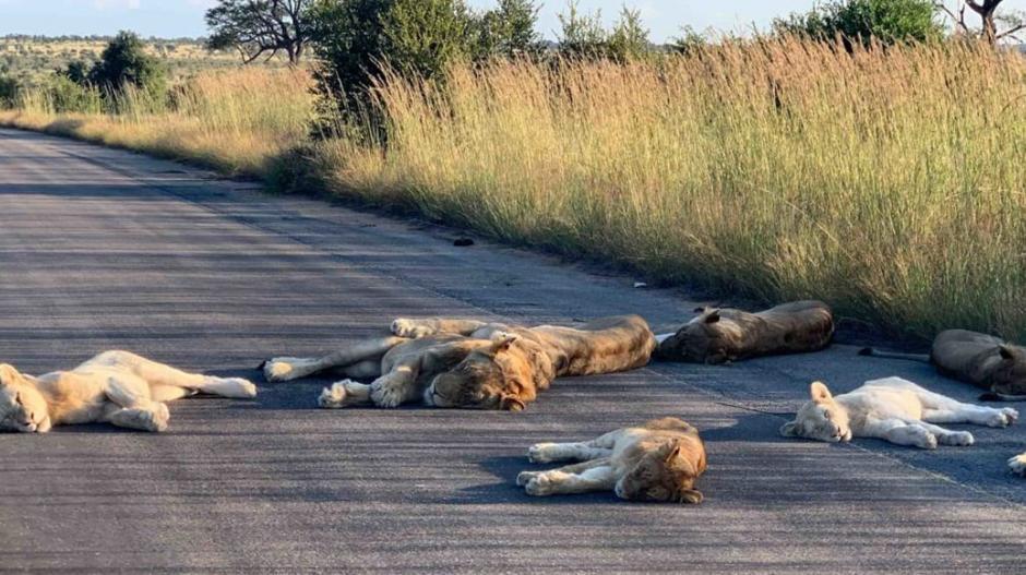 Leones en Sudáfrica.