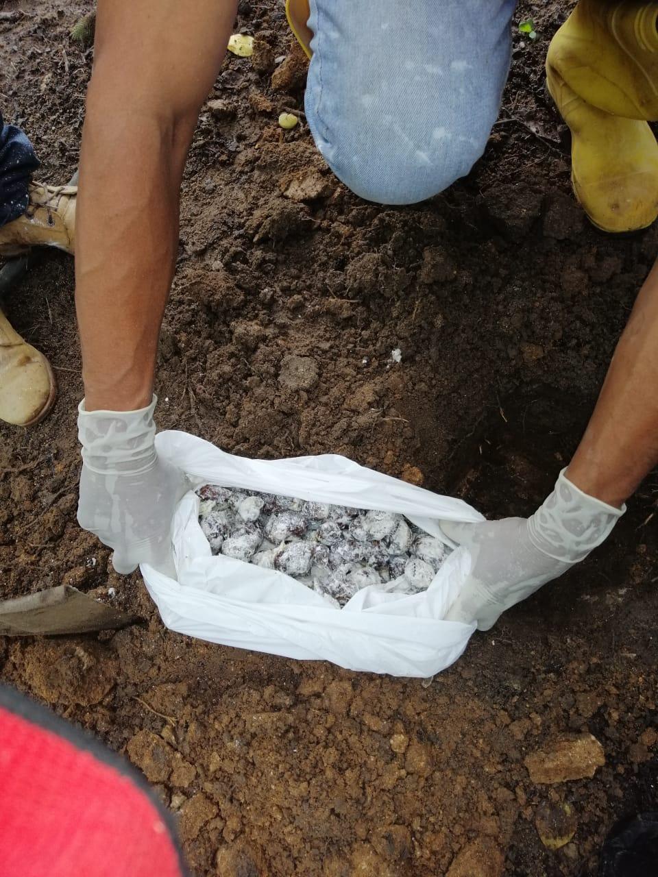 Proceso de recolección del caracol africano.