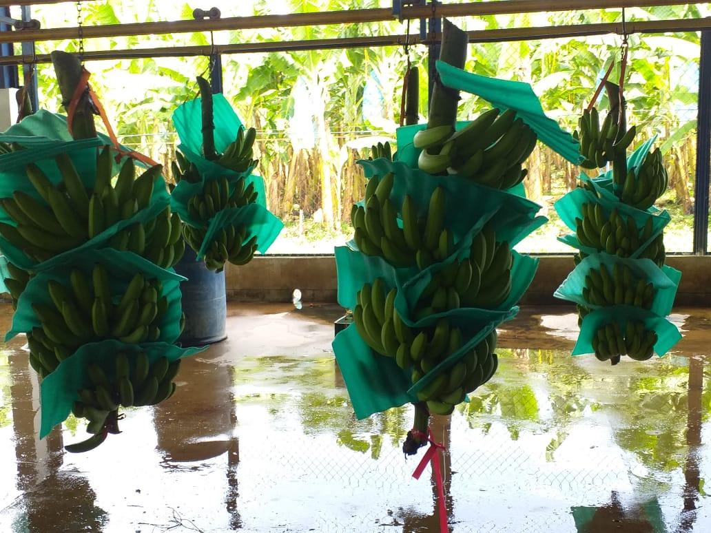 El banano es uno de los sectores económicos más importantes del departamento.