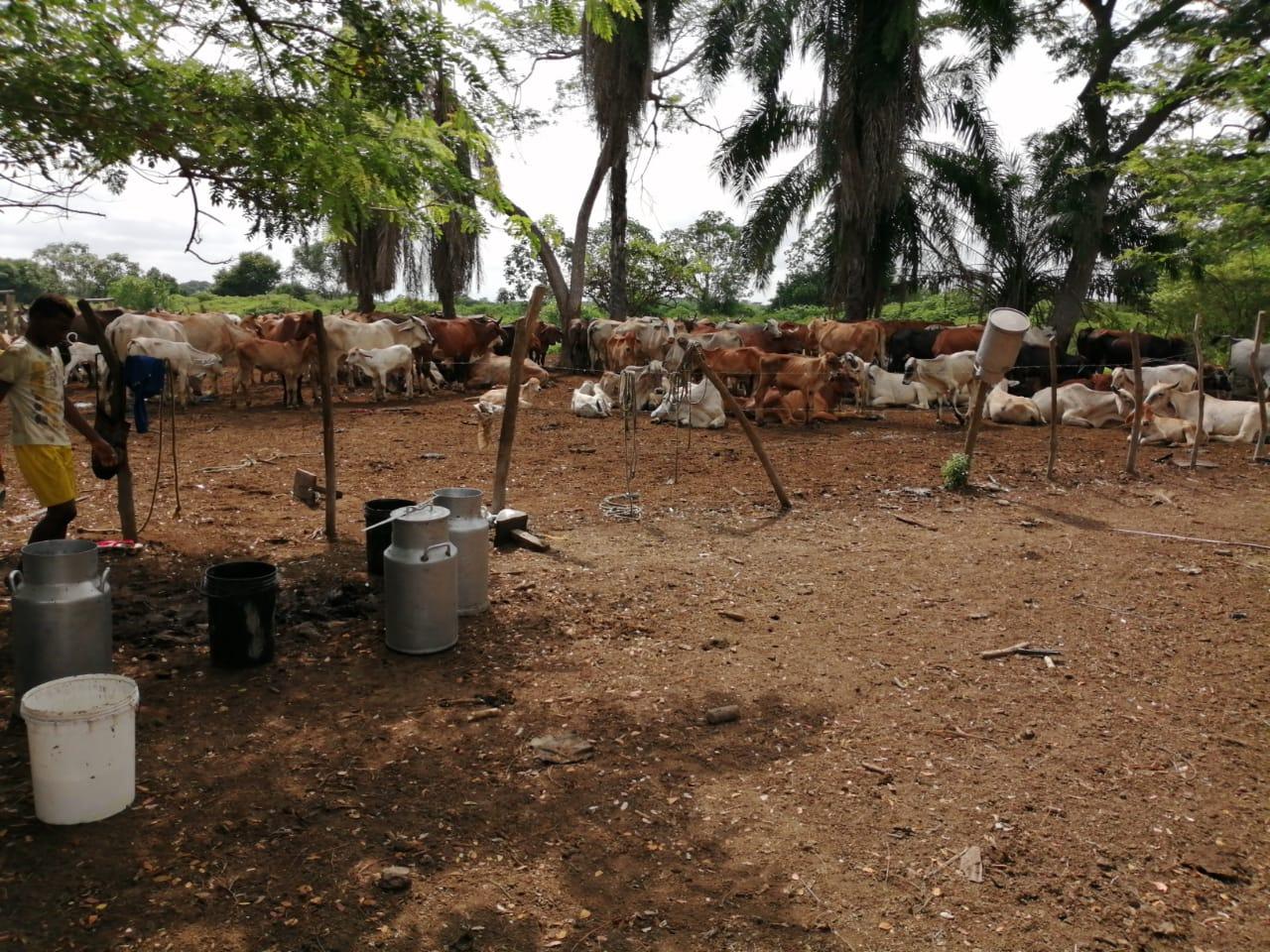 Actividades de ganadería en Rincón Guapo Loveran.