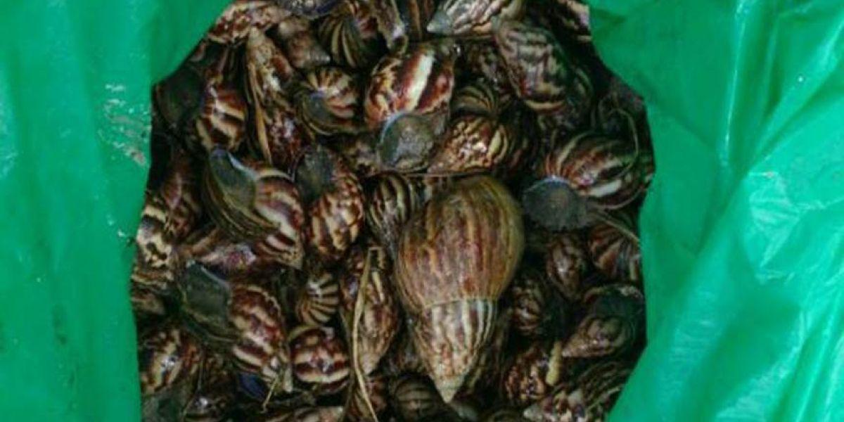 Las 250 unidades de caracol gigante africano fueron halladas en el barrio Portal de Almería.
