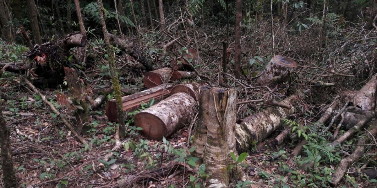Preocupación tala de bosque primario en jurisdicción de la Sierra Nevada de Santa Marta.
