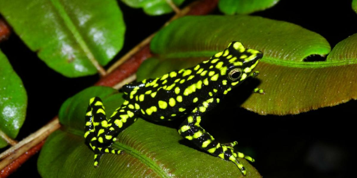 """Atelopus laetissimus"", población San Pedro de la Sierra, Sierra Nevada de Santa Marta."