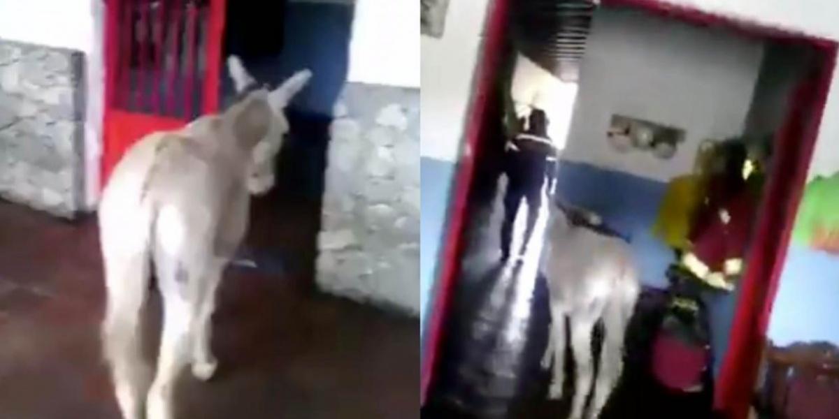 El burro que llamaron 'Maduro Moros'.