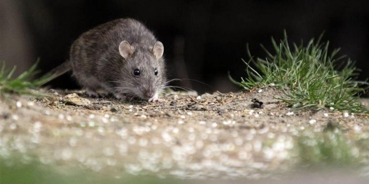 Cadáver de recién nacido es devorado por ratas; su mamá lo abandonó