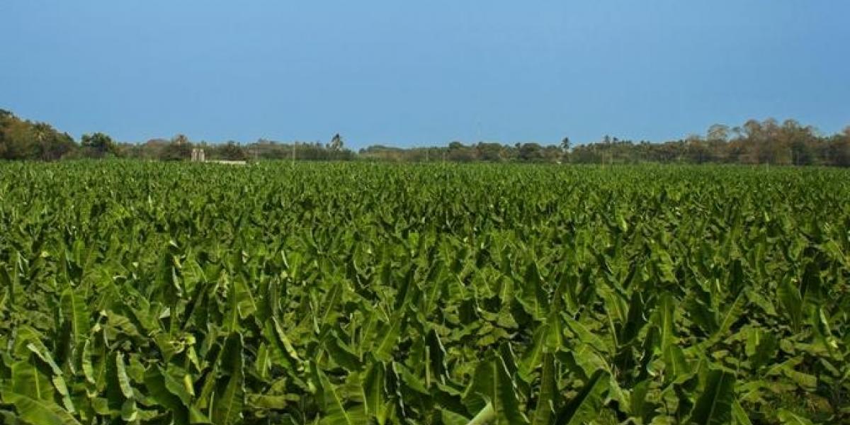 El presidente ejecutivo de Asbama señaló que los cultivos en el departamento se riegan por aspersión y no inundación.