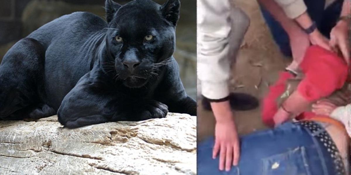 Una mujer salió herida luego de que un jaguar  la atacara.
