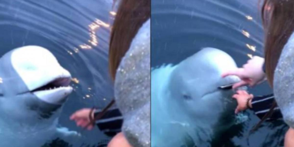 Ballena beluga recupera celular en Noruega