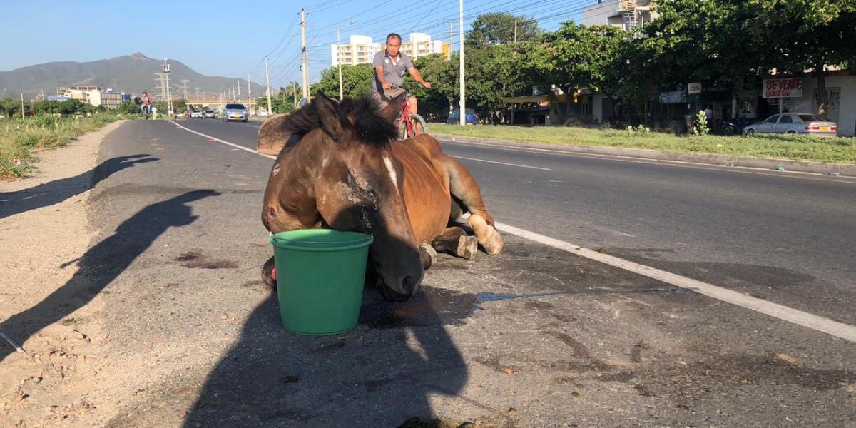 Animal que fue atropellado en la Troncal del Caribe fue abandonado y padeció durante varias horas