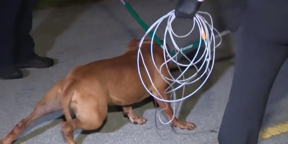 Este fue el perro pitbull que mató a la anciana e hirió a su hijo.