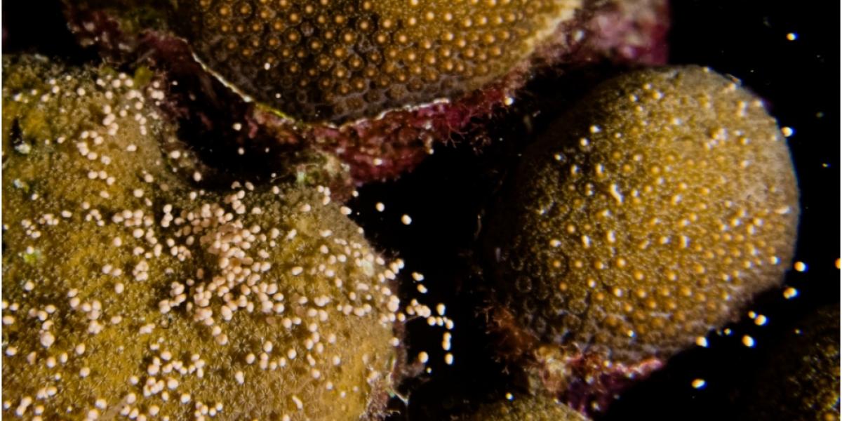 En cámara se registró el desove de colonias de corales en el Parque Nacional Natural Corales del Rosario y de San Bernardo.