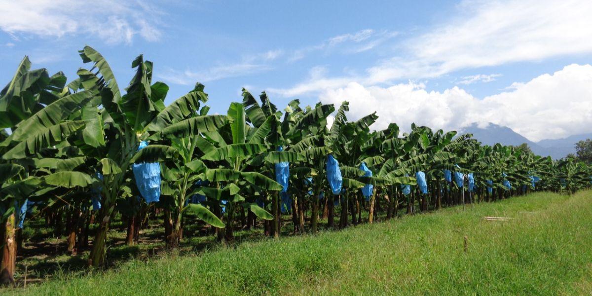 Este proyecto tendrá una duración de 2 años y busca beneficiar a 8.500 productores de banano y plátano en tres países.