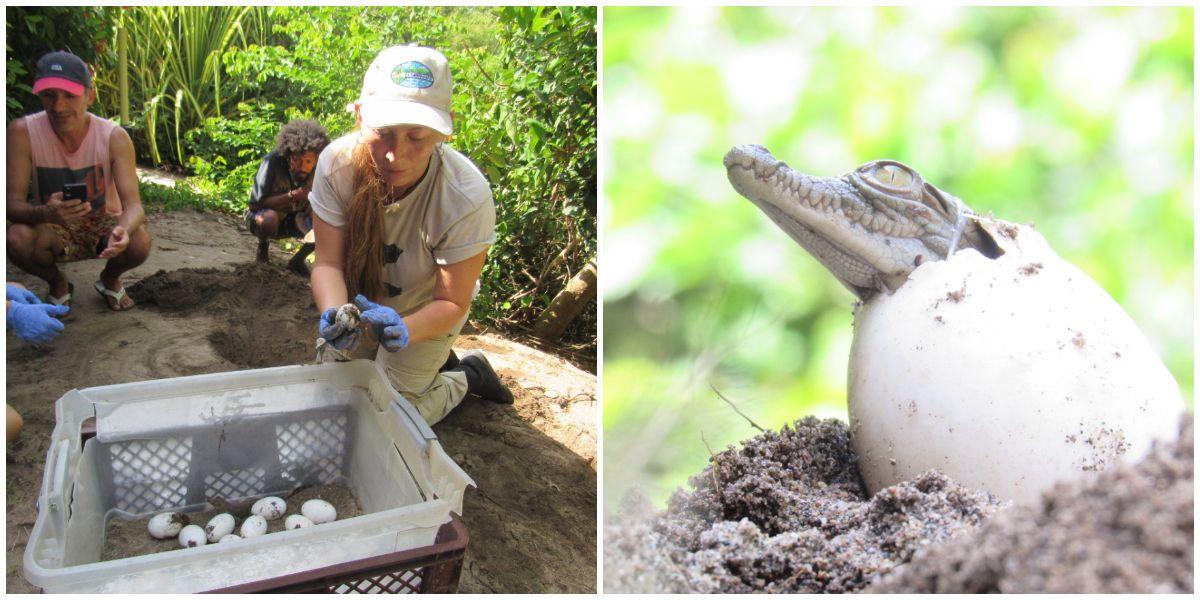 Neonatos de caimán aguja en Santa Marta.