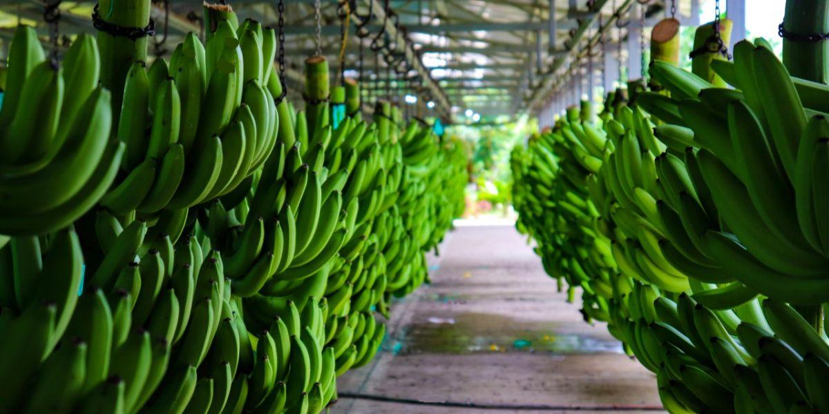 Gracias a este esfuerzo conjunto con el Gremio Asbama, el ICA y los productores, no se ha detectado la presencia del hongo en el Magdalena, convirtiendo el modelo de gestión de bioseguridad en referente para otros países productores.