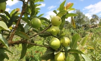 En objetivo principal de la entidad es mejorar la condición fitosanitaria del cultivo y proteger los polinizadores con prácticas agronómicas responsables.