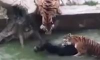 El animal fue devorado por los felinos.