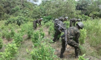 Hombres del Ejército durante la jornada de hectáreas de cultivos ilícitos.