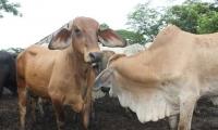 El ICA confirmó la terminación del sacrificio sanitario de 3.325 animales en todas las zonas en donde apareció la enfermedad.