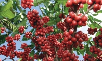 Se espera estén renovadas 26 mil hectáreas de café.