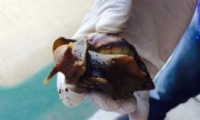 El caracol africano es una de las pocas especies invasoras en Colombia.