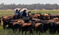 El bovino mide 1 metro con 94 centímetros y pesa 1.400 kilos.