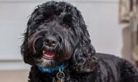 Marley, perro al que le mutilaron la lengua en un corte de pelo