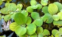 """La """"Lechuga de agua"""", cuyo nombre científico es Pistia stratoites, es una planta que flota en las zonas costeras del Magdalena."""