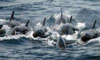 una familia de 20 orcas negras visitó El Rodadero.