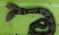Esta es la serpiente de dos cabezas.