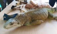 La iguana fue trasladada al Centro de Atención de Fauna Silvestre de Corpamag.