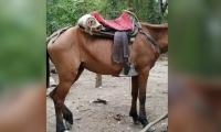 Este es el estado de uno de los caballos en el Parque Tayrona.
