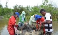 restauración de manglar en la ciénaga Grande