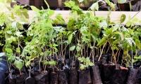 Los árboles donados son de las especies de ceiba y acacia, entre otros.