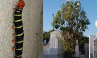 La oruga Esfinge de Tetrio (Pseudosphinx tetrio) ha 'invadido' el cementerio San Miguel.