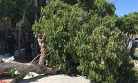 Uno de los árboles que ha caído en Santa Marta.