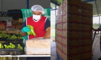 El banano de la región Caribe continúa consolidándose en los mercados internacionales.