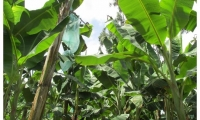 Es la primera exportación de plátano en fresco de este municipio risaraldense, donde los productores han adoptado las Buenas Prácticas Agrícolas