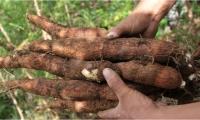 La yuca es el cuarto producto básico más importante después del arroz, el trigo y el maíz y es un componente básico en la dieta de más de 1.000 millones de personas, según la Fao.