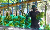 Se busca proteger las plantaciones de banano.