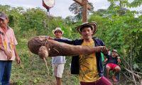 Arcelio Álvarez con la gigantesca yuca.