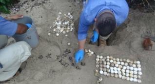 Nacimiento de tortugas carey en el Parque Tayrona.